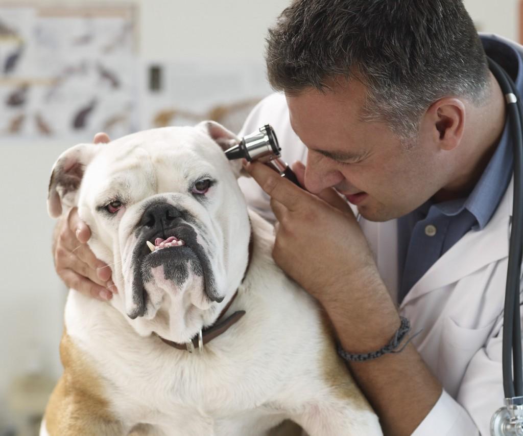 Veterinarian Examining Bulldog